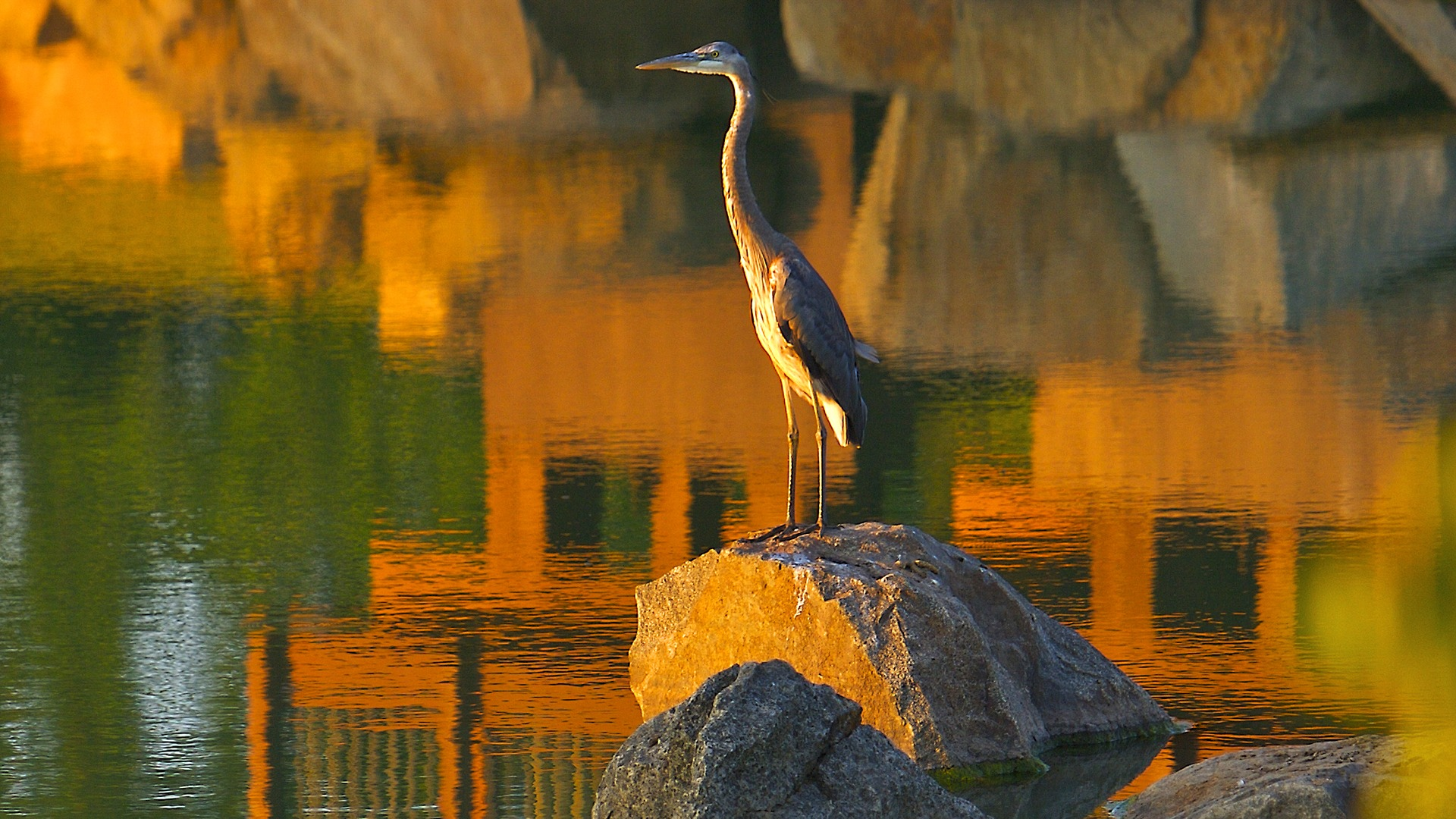 A heron on a rock in Brambleton pond.